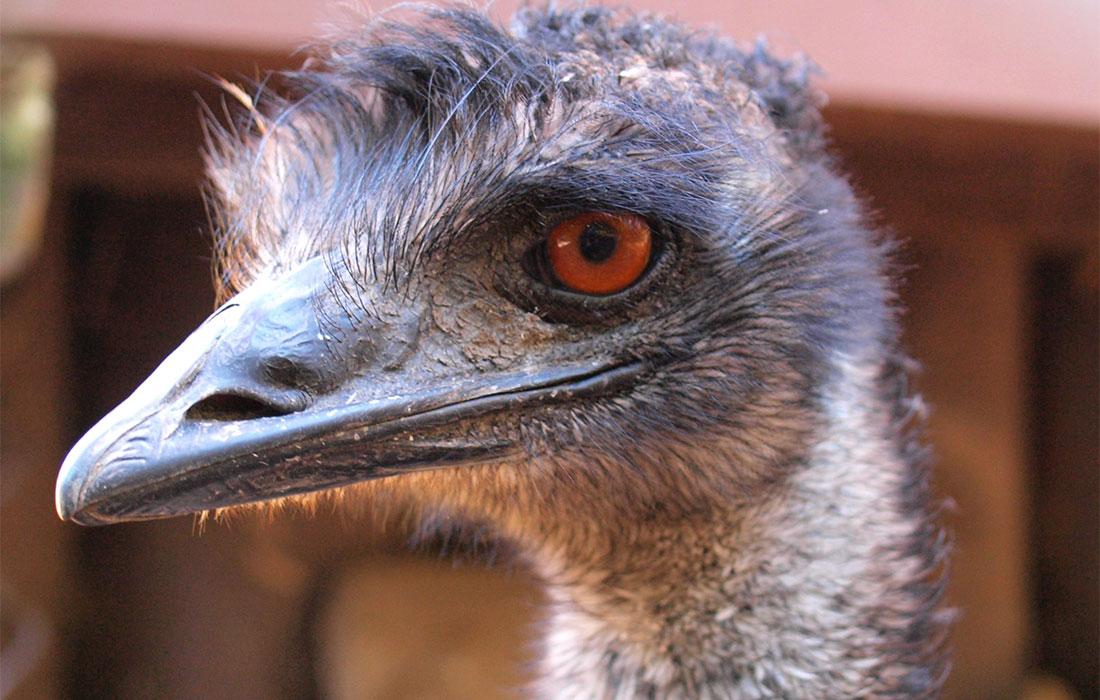 Emu - High Park Zoo