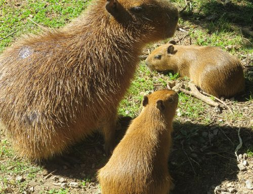 Rush Gets Famous Toronto Capybaras Offspring Named After Them
