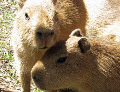 Capybara Pup Names Announcement Party!
