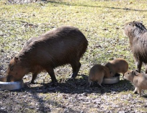 Runaway Toronto capybaras' triplets named Geddy, Neil and Alex after Rush members