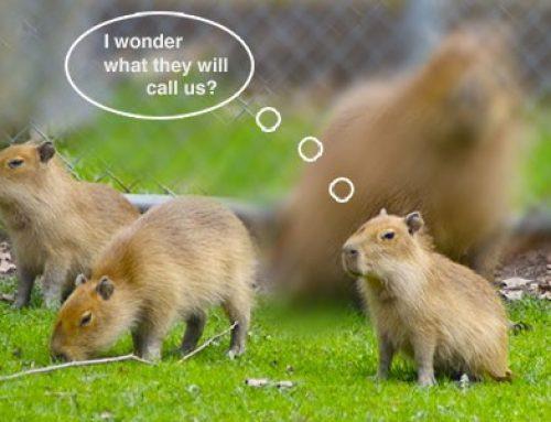 Help Name the Baby Capybaras