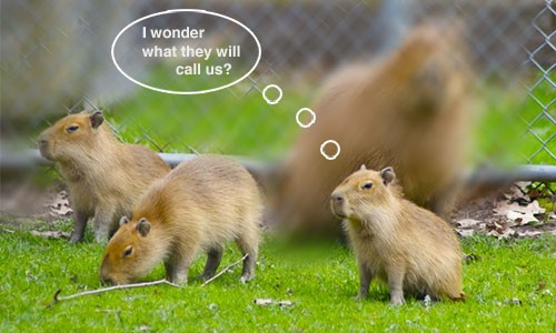Toronto's Trio of Capybara Pups Could be Named After Rush