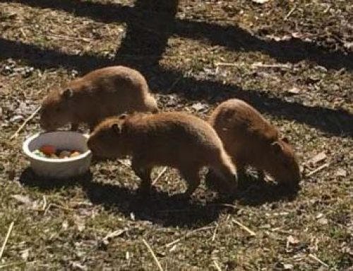 Trio of baby capybaras at Toronto zoo named after Rush's members