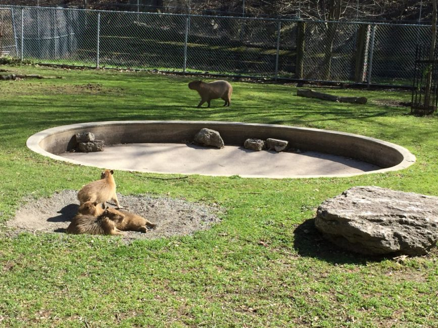 The three capybara babies, seen here in an April 23 file photo. (BRIAN BRADLEY/ TORONTO STAR)