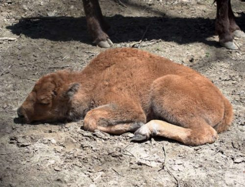 High Park Zoo welcomes new bison calf – but is it a he or a she?