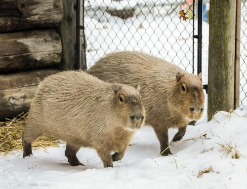 The High Park capybaras enthralled the city after their famous escape