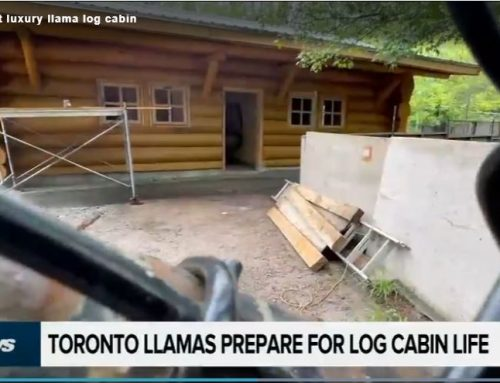 High Park's latest luxury llama log cabin