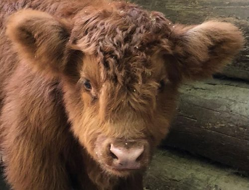 Name the new Highland calf – Poll